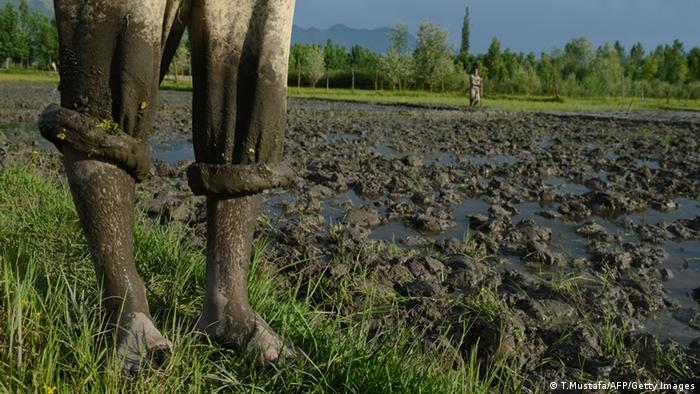 Indien Reisfeld
