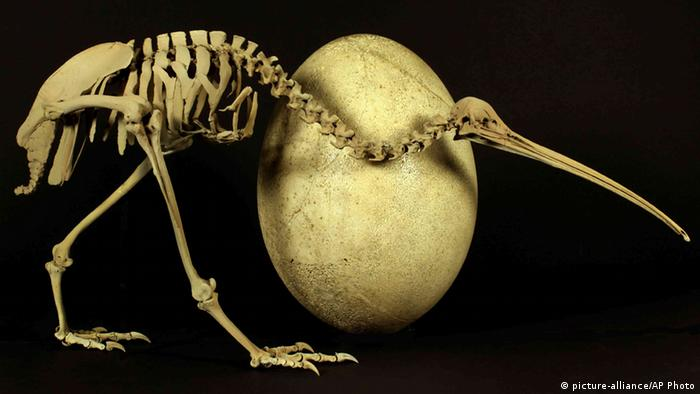 Kiwi bird compared to a elephant bird egg (Picture: picture-alliance/AP Photo)