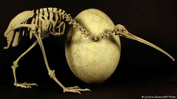 Kiwi bird compared to a elephant bird egg