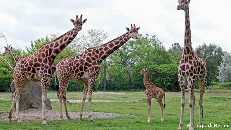 Bildergalerie Tierbabys in deutschen Zoos Uganda Giraffe