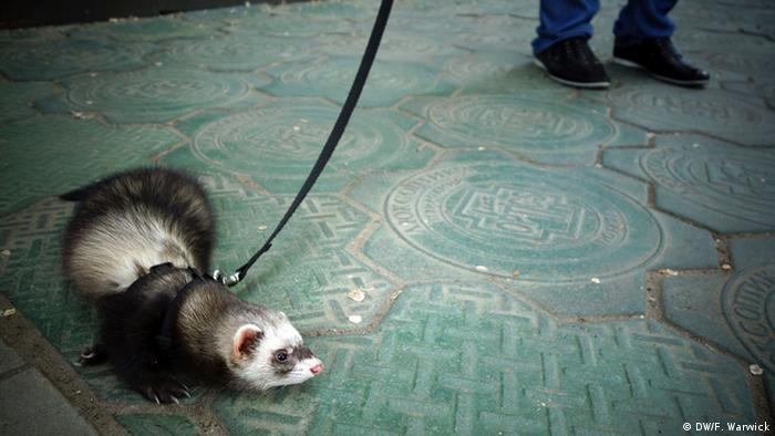 Liza the ferret goes for a walk.