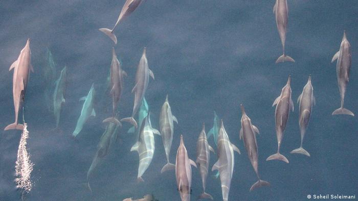 Eine Gruppe Delfine im Persischen Golf (Soheil Soleimani)