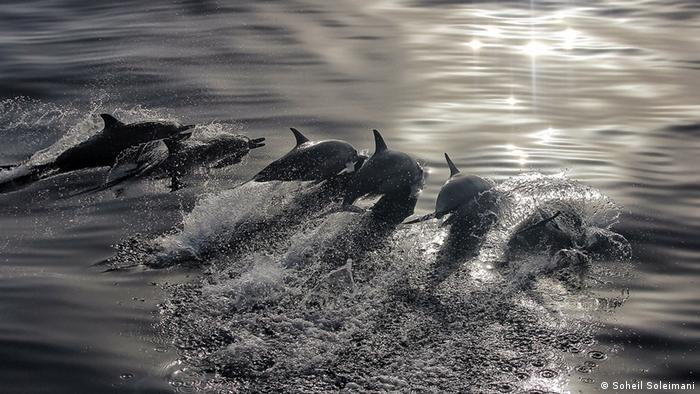 Golfinhos no Golfo Pérsico