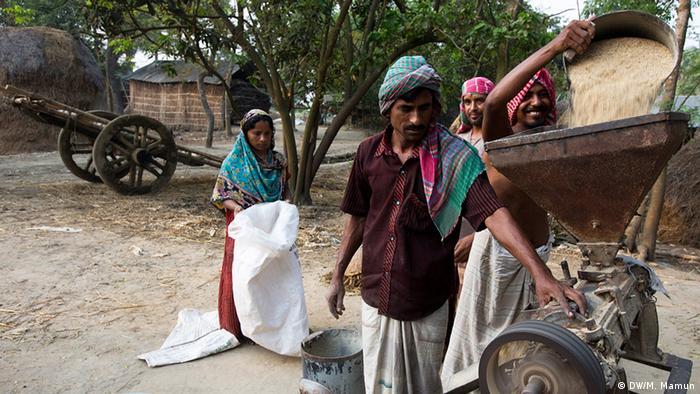 Reisfeld Ernte in Bangladesh