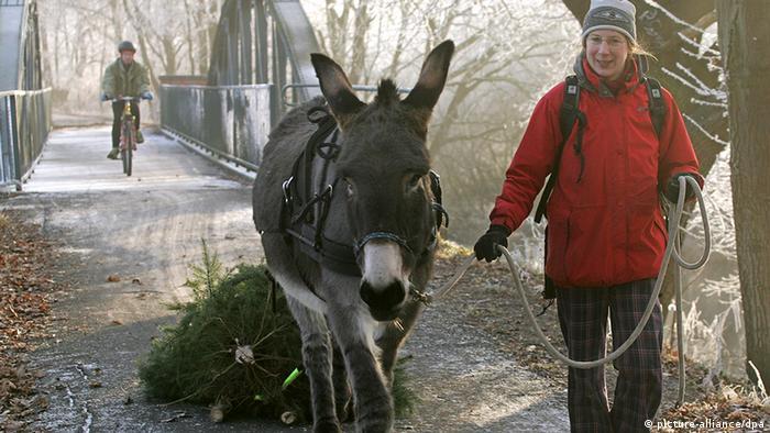 Eine Frau führt einen Esel, der einen Weihnachtsbaum schleppt