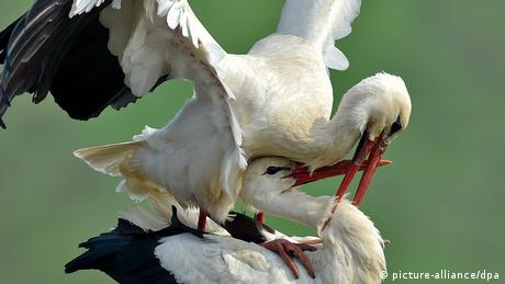 Two Storks copulating