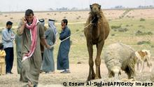 Bildunterschrift:JABAL SEIMAN, IRAQ: A Bedouin youth, leads a young camel as he chats on a mobile phone at Jabal Sieman in southern Iraq, close to the Kuwaiti border 25 March 2005. Some 500 members of the Beni Sweilam tribe, nomadic Bedouins, live in this remote area, grazing their herds of sheep and camels and sending any products to local markets. The sheep are sold for their meat, milk and wool. The camels' wool and milk are sold, but not their flesh. The Beni Sweilam move camp when their grazing pastures can not sustain their animals. In living memory, the Bedouin tribes of the area used to cross the frontiers into Saudi Arabia and Kuwait, today they have to stay in Iraq due to the politics of the region. AFP PHOTO/ESSAM AL-SUDANI (Photo credit should read ESSAM AL-SUDANI/AFP/Getty Images)