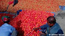 Bangladesch Landwirtschaft Tomaten