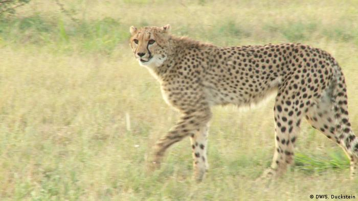 "a study of protection of cheetahs The study authors say it's time for a ""paradigm shift"" in thinking about cheetah conservation national parks can provide only so much protection — and try explaining the concept of borders."