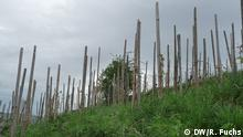 Museumsweinberg mit Holzpfählen statt modernen Drahtanlagen, mit alten Rebsorten statt neuer Züchtungen; Foto: Richard Fuchs, alle Rechte freigegeben;