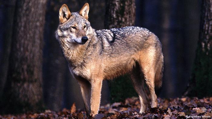 A wolf in Romania