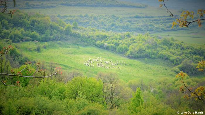 Sheep on a hill in Transylvania
