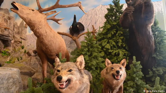 Stuffed wolves in a museum for hunting trophies