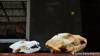 A bear and a wolf skull