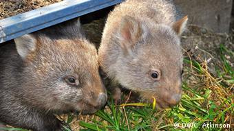 Two baby wombats