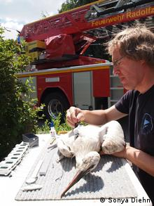 Dr. Wolfgang Fiedler attaching GPS transmitter to juvenile stork (Photo: Sonya Diehn)