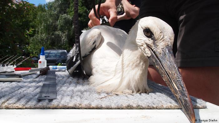 Juvenile stork on table being tagged (Photo: Sonya Diehn)