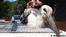 white stork being tagged