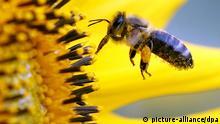 ARCHIV - Eine Biene sucht am Donnerstag (06.09.2012) im niederrheinischen Neufeld an der Blüte einer Sonnenblume nach Nahrung. Der Frühling kommt, doch wo sind die Bienen? Dass in Nordrhein-Westfalen trotz Sonne und Blütenpracht so wenige Bienen zu sehen sind, liege nicht am Bienensterben durch Pestizide, sagte am Dienstag Werner Mühlen von der Landwirtschaftskammer NRW in Münster: «Das Wetter ist einfach noch zu kalt und die Völker, die aus dem Winter kommen, sind klein.» Foto: Roland Weihrauch dpa/lnw +++(c) dpa - Bildfunk+++