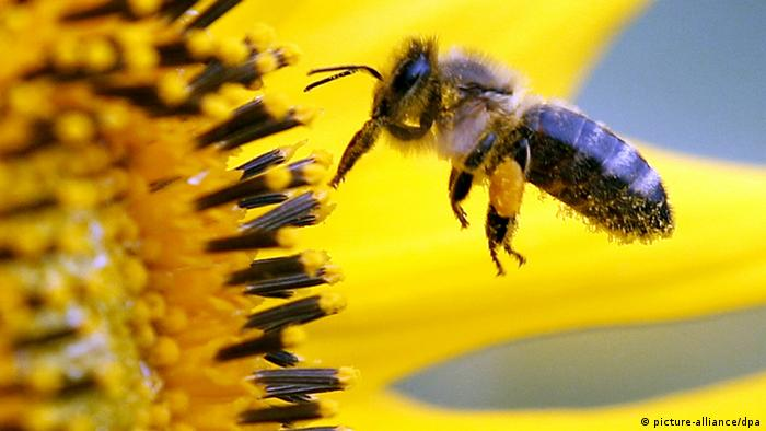 Bee and a sunflower Photo: Roland Weihrauch dpa/lnw