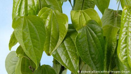 Betel Blätter