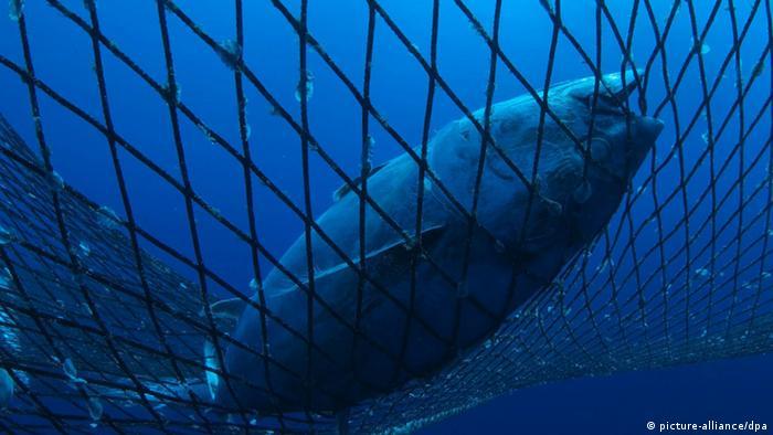 Captive bluefin tuna inside a transport cage