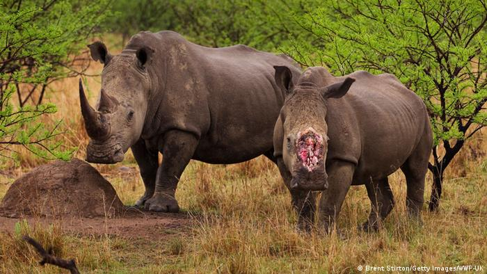 Two rhinos, one with a missing horn (Foto: Stirton/Getty Images/WWF-UK)