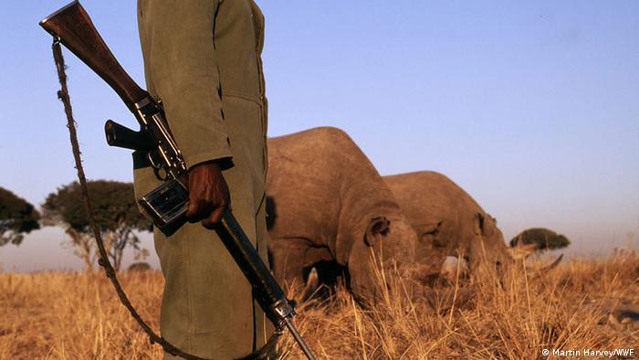 A ranger holding a gun watches over rhinos