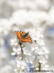 Apfelbaumblüte, auf der ein SChmetterling sitzt