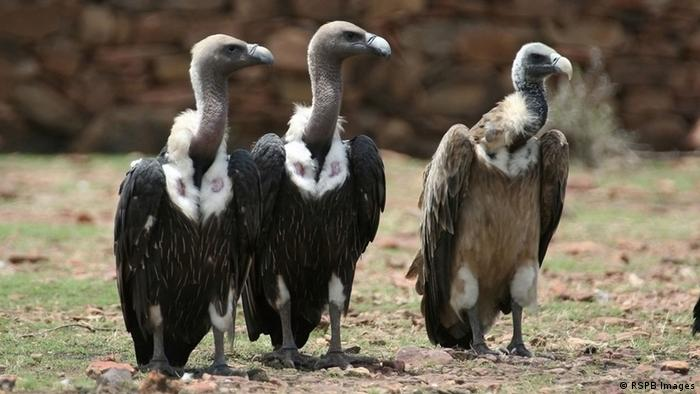 Three vultures in a row