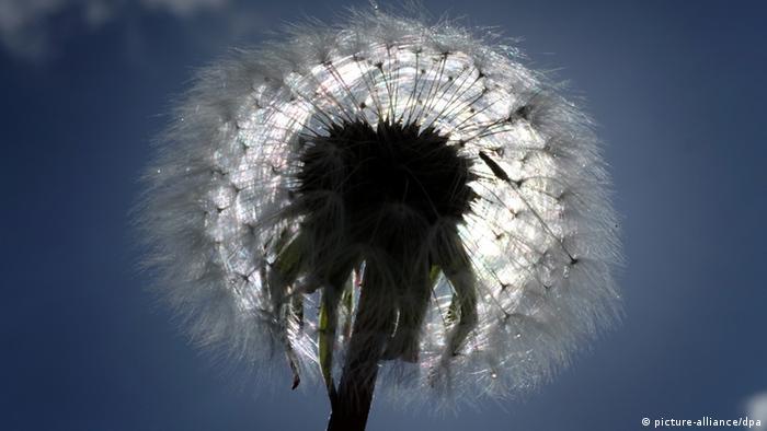 Eine Pusteblume im Gegenlicht