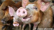 Hausschweine stehen am Mittwoch (29.04.2009) auf einem Bauernhof in Bobingen (Schwaben) in einem Stall (Illustration zum Thema Schweinegrippe). Die Schweinegrippe hat Deutschland erreicht. Zwei von bundesweit bisher drei Patienten werden aus Bayern gemeldet. Foto: Karl-Josef Hildenbrand dpa/lby +++(c) dpa - Report+++
