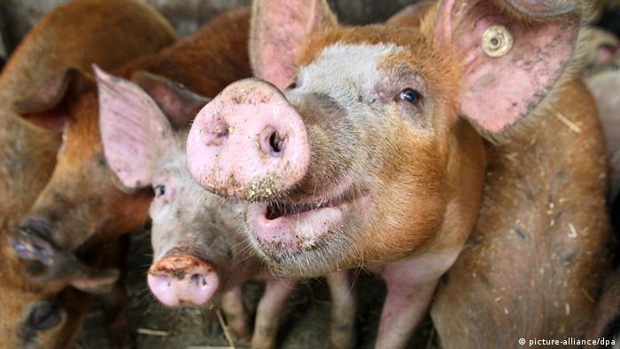 Свиньи в одном домашних хозяйств в Германии