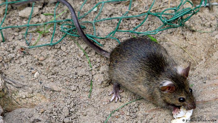 Deutschland eine kleine Ratte