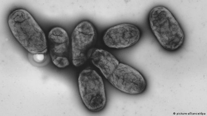 Pestbakterium Yersinia pestis (picture-alliance/dpa)