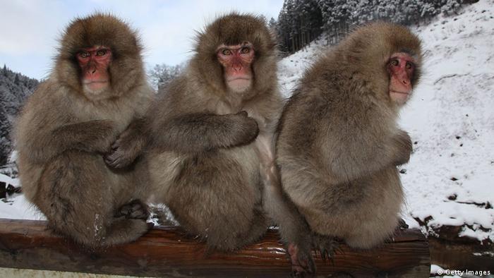 Macacos en Jigokudani, Japón.