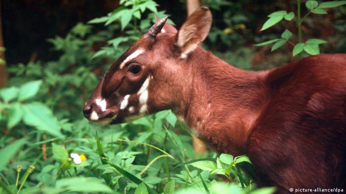 A rare saola in its native habitat - the bovine is a reddish-brown color with white markings on its face and small horns
