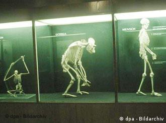 The skeletons of a monkey, a gorilla and a human next to each other