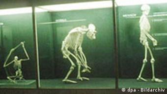 Human skeleton next to ape skeletons in a natural history museum in East Berlin