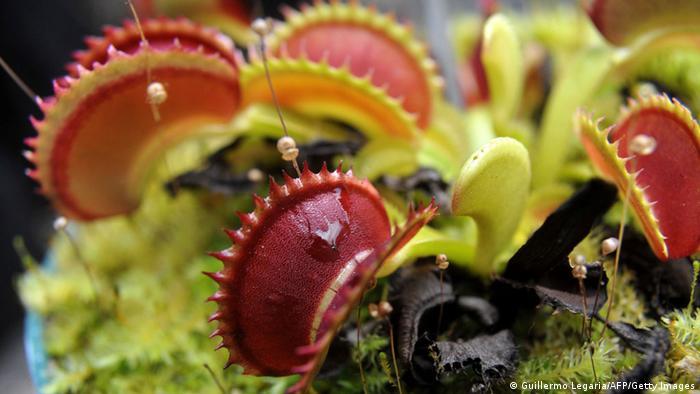 Bildergalerie Fleischfressende Pflanzen (Guillermo Legaria/AFP/Getty Images)