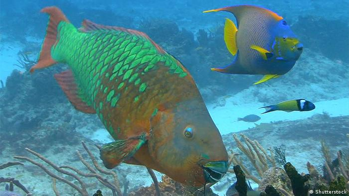 Parrotfish in the Caribbean