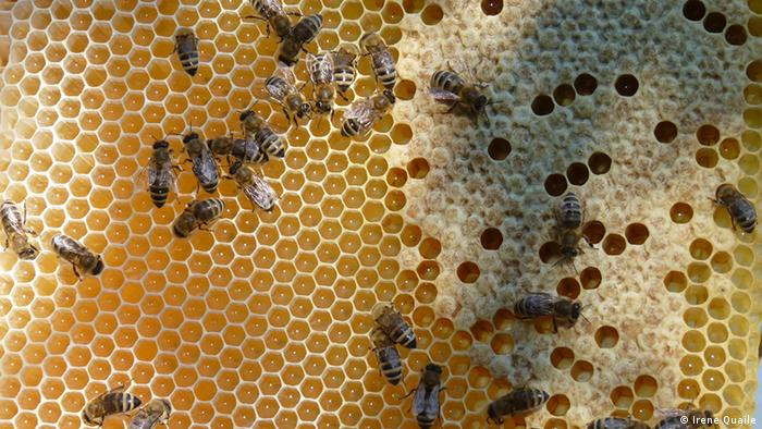 Honeycomb with bees on it (Photo: Irene Quaile)