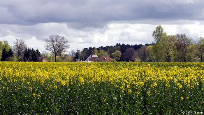 A mustard field near the start of trail five in Wensickendorf on the 66 Lakes Trail, Copyright: DW / K. Sacks