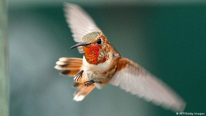 Hummingbird caught in flight, beating its wings