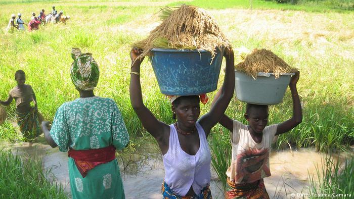 Guinea-Bissau Reisanbau Landwirtschaft Frauen
