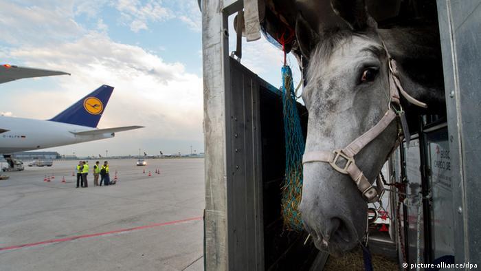 Galerie - Pferde werden in den Iran geflogen