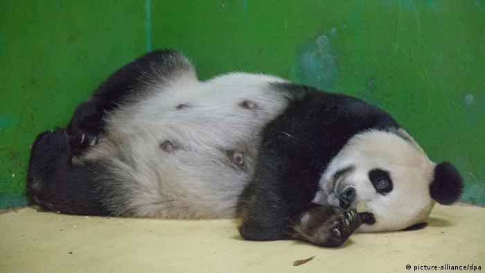 Panda bear Ju Xiao in Guangzhou, China