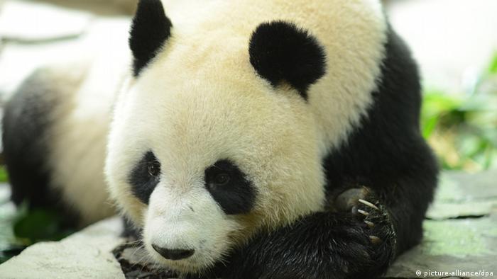 Giant panda Ju Xiao, China