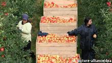 Apfelernte in den Niederlanden Symbolbild