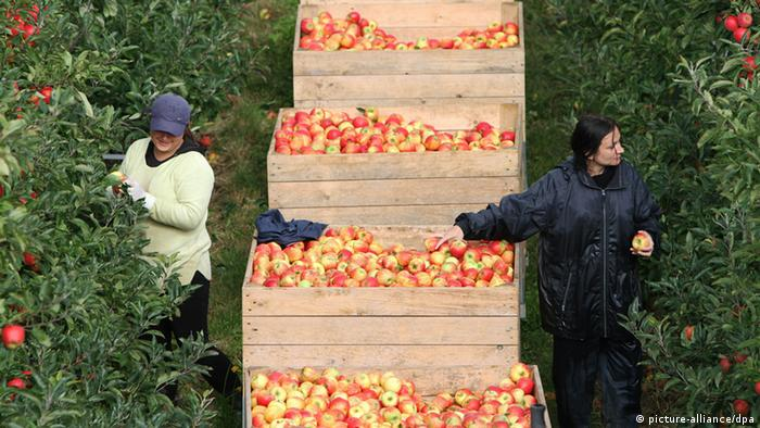 Polish workers picking apples in the Netherlands